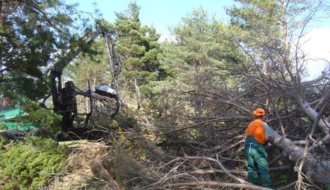 Imatge d'arxiu d'una actuació de neteja forestal a l'Alt Urgell.