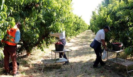 Treballs de recollida de fruita de pinyol aquest mes en una finca de Soses.