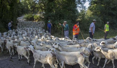 El ramat d'ovelles al creuar el municipi de Senterada, al Pallars Jussà.