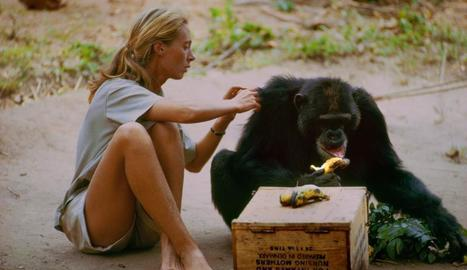 Una jove Jane Goodall gravada pel seu marit mentre estudia la vida dels ximpanzés.
