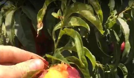 Imatge de fruita de pinyol cremada pel sol a la Granja d'Escarp.
