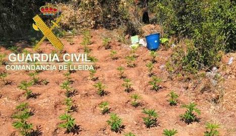 Confiscades més de 2.000 plantes de marihuana a Os de Balaguer