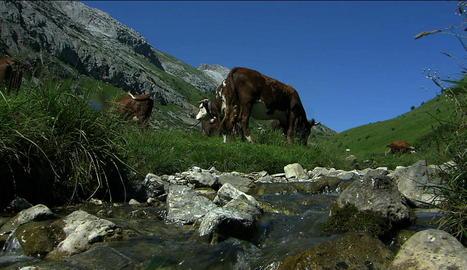 Les pastures del Piemont produeixen carn de molta qualitat.