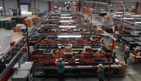 Imatge de treballadors, bona part dones, envasant producte a la cooperativa de segon grau Fruits de Ponent.