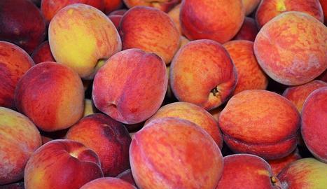 El préssec, en qualsevol de les seves varietats, és una de les fruites que més es conrea a la província de Lleida.