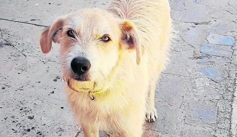 Denuncien un veí de Gavet de la Conca per abandonar un gos