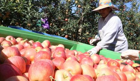 A Ivars d'Urgell s'ha començat a collir pomes de la varietat buckeye gala.