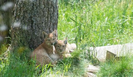 Les dos femelles de linx nascudes a Naturlandia, a Andorra.