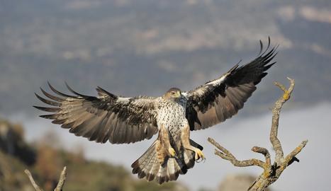 L'àguila cuabarrada és un rapinyaire de mida mitjana o gran de cua grossa.