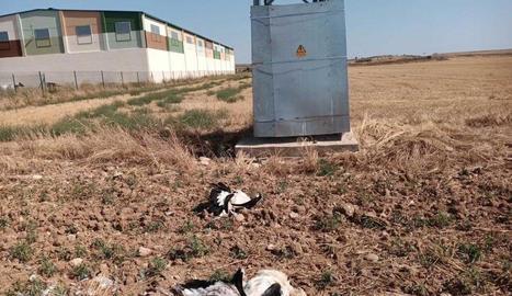Cadàvers de cigonyes al peu de la línia elèctrica.