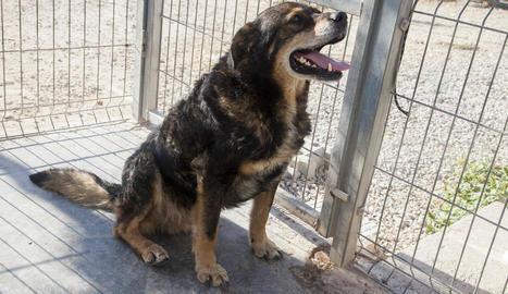 Imatge del gos abandonat, Noa, ahir a la protectora de Tàrrega.