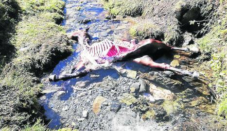 Les restes de la poltra devorada per l'ós Cachou diumenge al municipi de Vielha e Mijaran.
