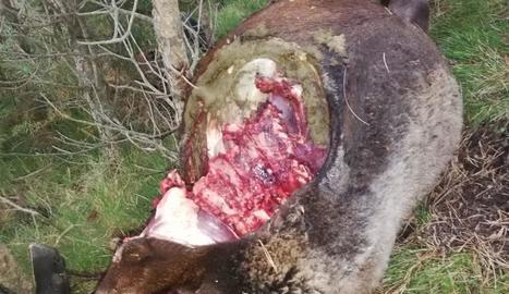 Una de les ovelles mortes com a conseqüència de l'atac del llop.