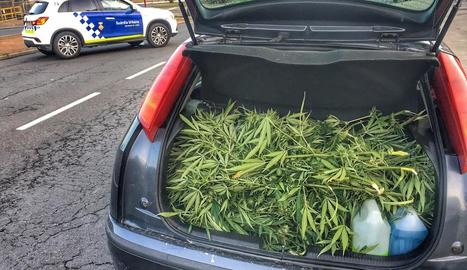 Les plantes que van ser intervingudes al maleter d'un turisme.