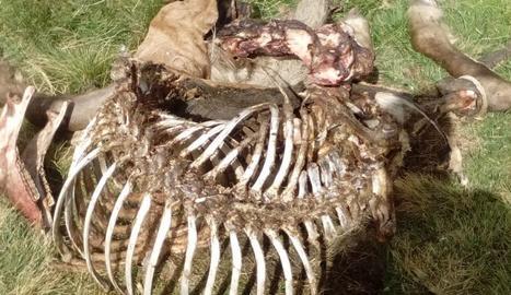 Les restes de l'euga devorada per Cachou.
