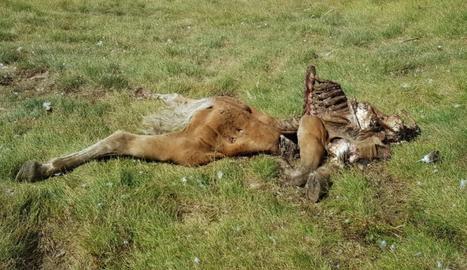 Les restes de l'euga morta per l'ós Cachou la nit de dilluns a dimarts.