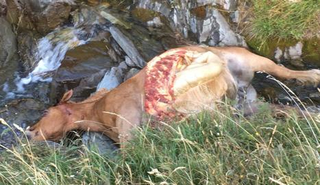 Les restes de l'euga morta en el nou atac de Cachou.