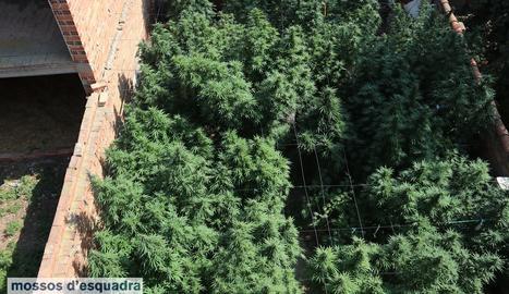 Una vista de la plantació de marihuana al pati exterior d'una casa als Arcs, al Pla d'Urgell.