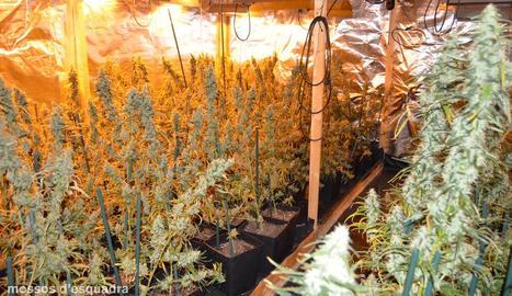 Vista de les plantes de marihuana que es van intervenir en aquesta complexa instal·lació a l'Horta.
