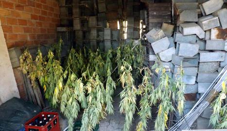 Els Mossos d'Esquadra detenen tres persones per tenir 463 plantes de marihuana en una masia del Solsonès