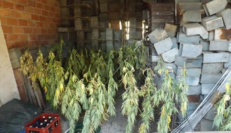 Plantes assecant-se en un cobert d'una masia de Riner.