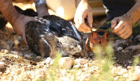El Centre de Vallcalent aconsegueix el primer alliberament d'una àguila cuabarrada electrocutada