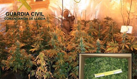 Detingut per tenir més de 130 plantes de marihuana en un habitatge proper a Lleida