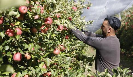 Els productors de Lleida han iniciat aquesta setmana la collita de la poma pink lady.