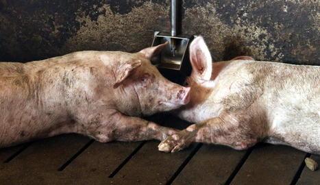 Dos porcs al costat d'un abeurador aquest estiu en una granja d'Alcarràs.