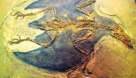 ilerdopterix. Superior: fòssil de ploma de cobertura de fa 130 milions d'anys trobat a les pedreres del Montsec.