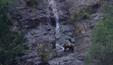 Un dels exemplars d'ós que habiten al Pirineu.