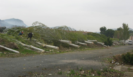 Els arbres talats a la zona de les cases de l'antiga colònia tèxtil d'Alfarràs.