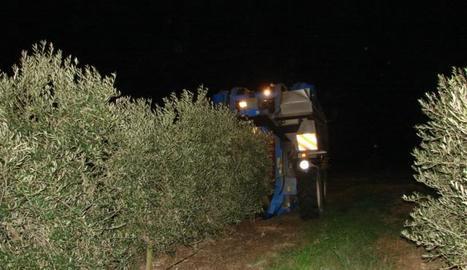 Imatge d'arxiu de recol·lecció nocturna d'olives a Maials.
