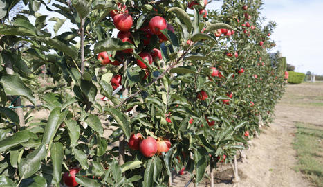 Imatge d'una finca productora de poma roja l'estiu passat.