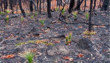 Comencen a rebrotar plantes als boscos cremats d'Austràlia
