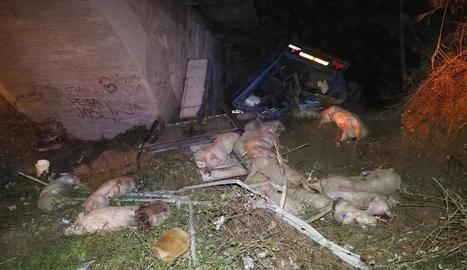 El camió transportava 198 porcs i la majoria d'ells van morir.