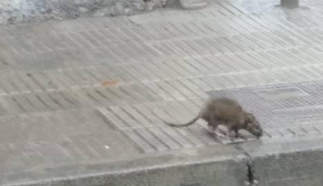 Una de les rates al carrer Pere de Sant Climent.