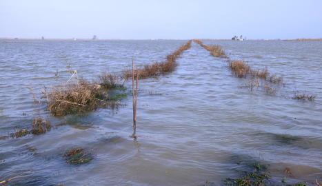 Els arrossars de la bassa de l'Arena del delta de l'Ebre, inundats amb aigua de mar.