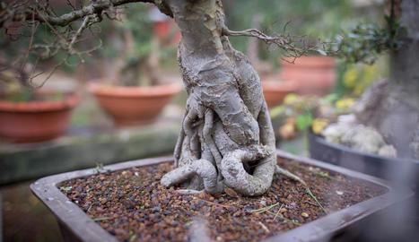 fruita. Sobretot es treballen en bonsai aquelles espècies que fan fruits d'acord amb la mida de l'arbre.