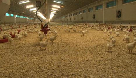 Imatge d'arxiu d'una granja avícola.