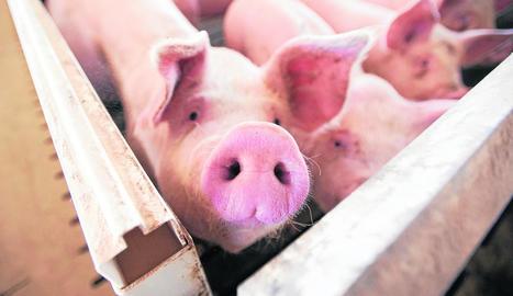 El sector de la producció de porcí de Lleida factura prop de 900 milions