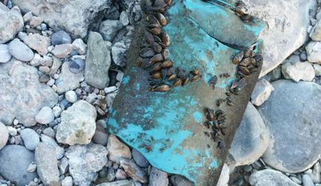 Exemplars d'aquest mol·lusc a l'entorn de l'embassament de Riba Roja
