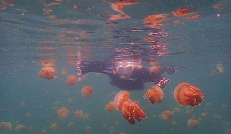 Fent esnòruqel entre meduses a Lenmakana.