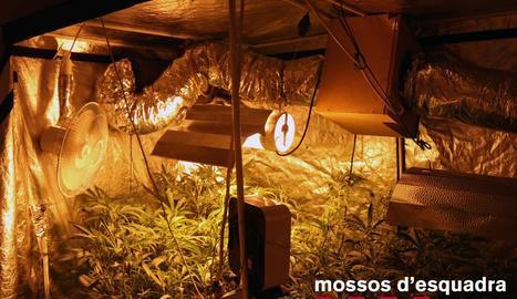 Imatge de la plantació, que estava dins d'un domicili.