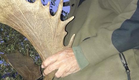 Imatge d'una banya d'una de les daines que va ser abatuda.