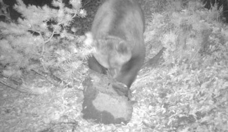 Imatge d'arxiu de l'ós Cachou.
