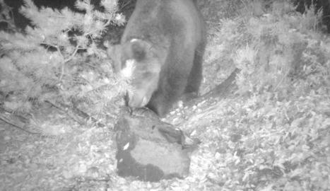Fotografia nocturna de l'ós Cachou, captada per una càmera automàtica el mes d'octubre passat.