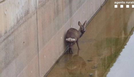 El cabirol, al canal.