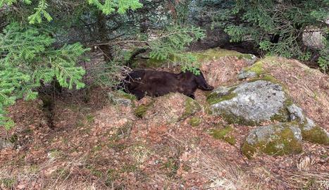 Troben mort l'os Cachou a la Val d'Aran