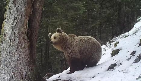 Un ós observa la muntanya entre els arbres, envoltat de neu.